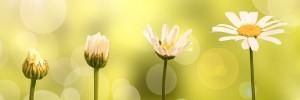 header-daisygrow